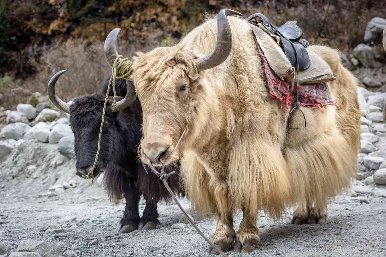 One black and one white Yak