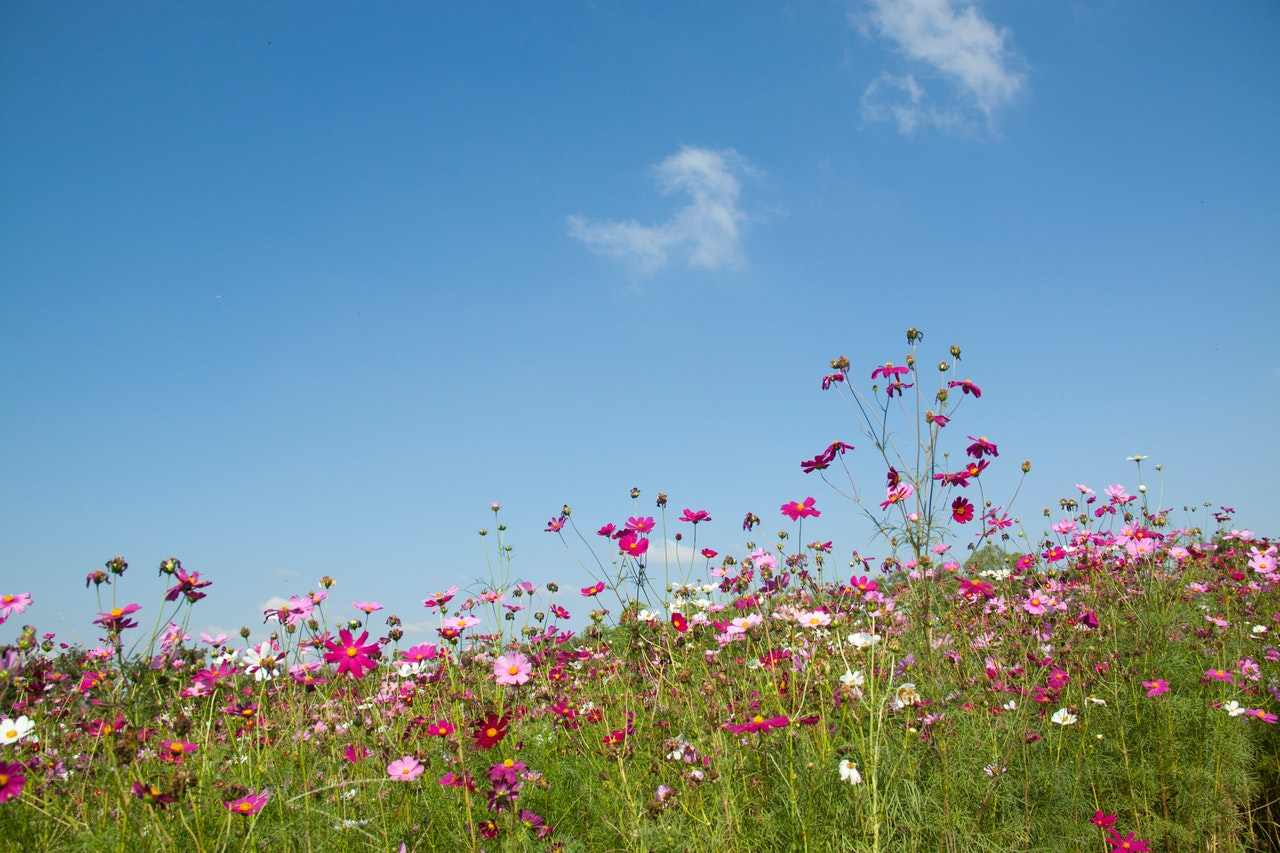 Pink and white wildflowers swaying in the wind against a blue sky.