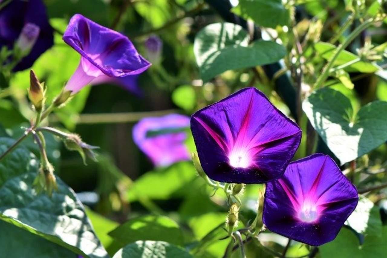 Three purple flowers amongst green leaves.