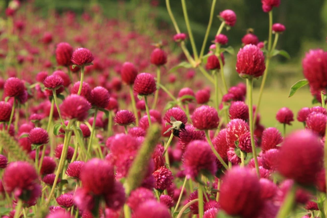 A bee settles on a flower in a field of Globe Amaranth