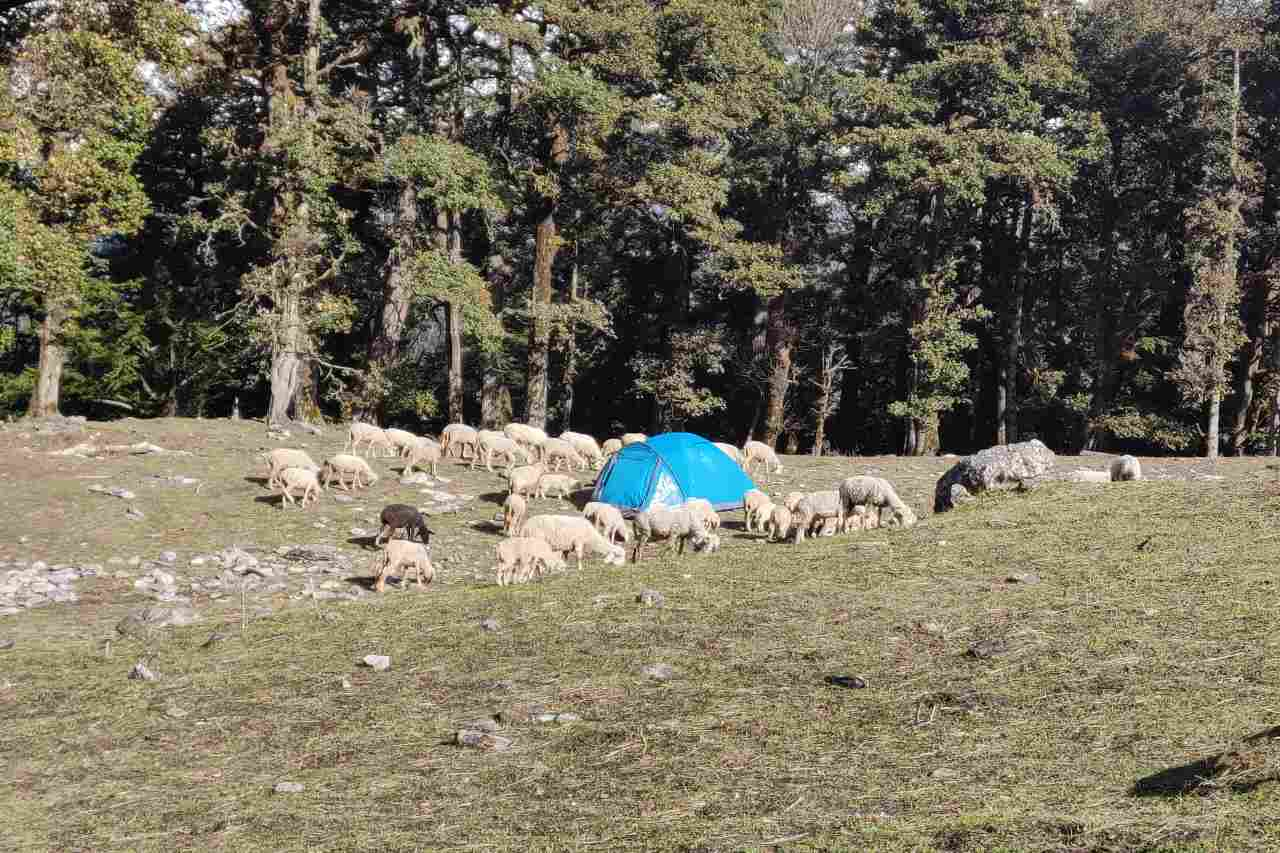 A herd of sheep grazing around a blue tent