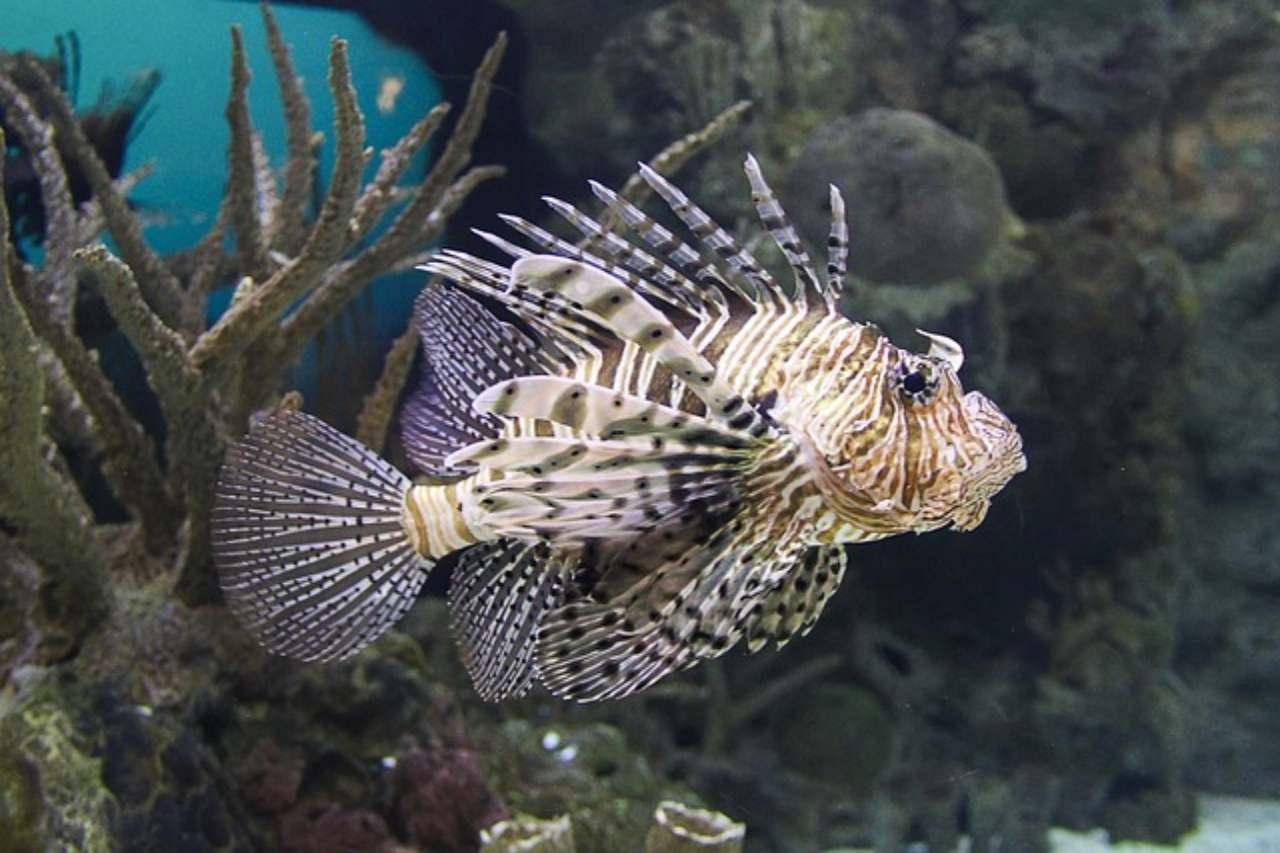 Underwater shot of a lionfish.