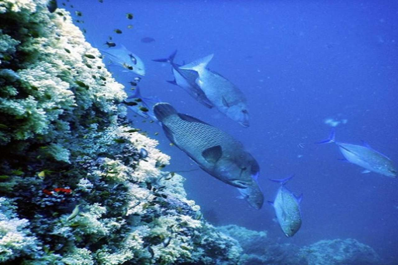 Parrotfish swims along a coral reef.