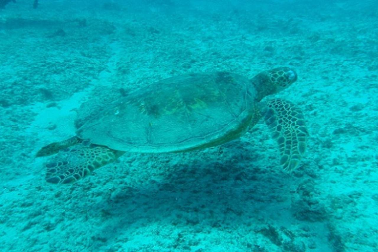 A turtle swimming above the sea bed.