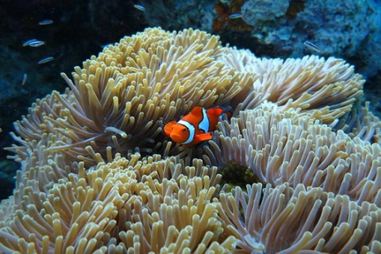 A clownfish swims between sea anemones