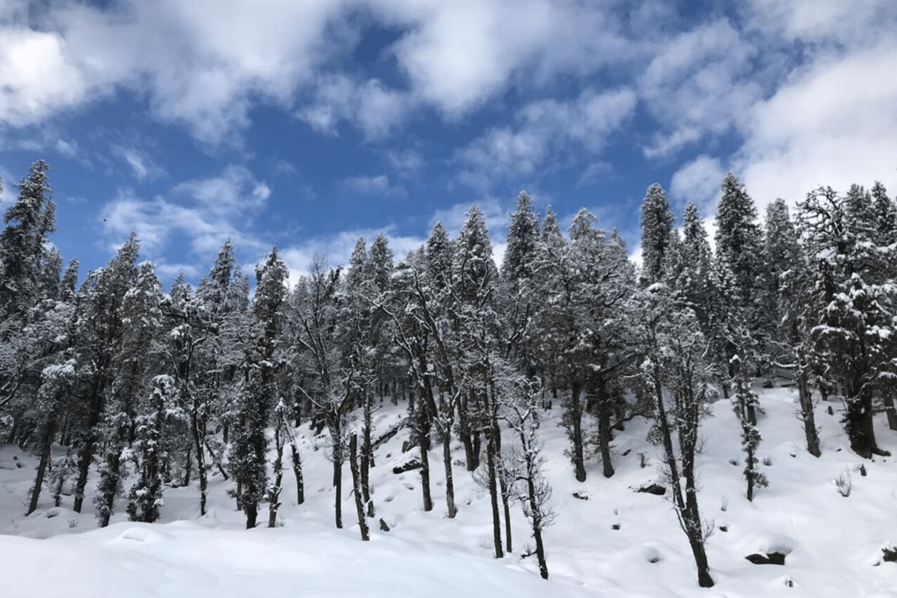 Rows of pine trees with snowy branches against a winter landscape.