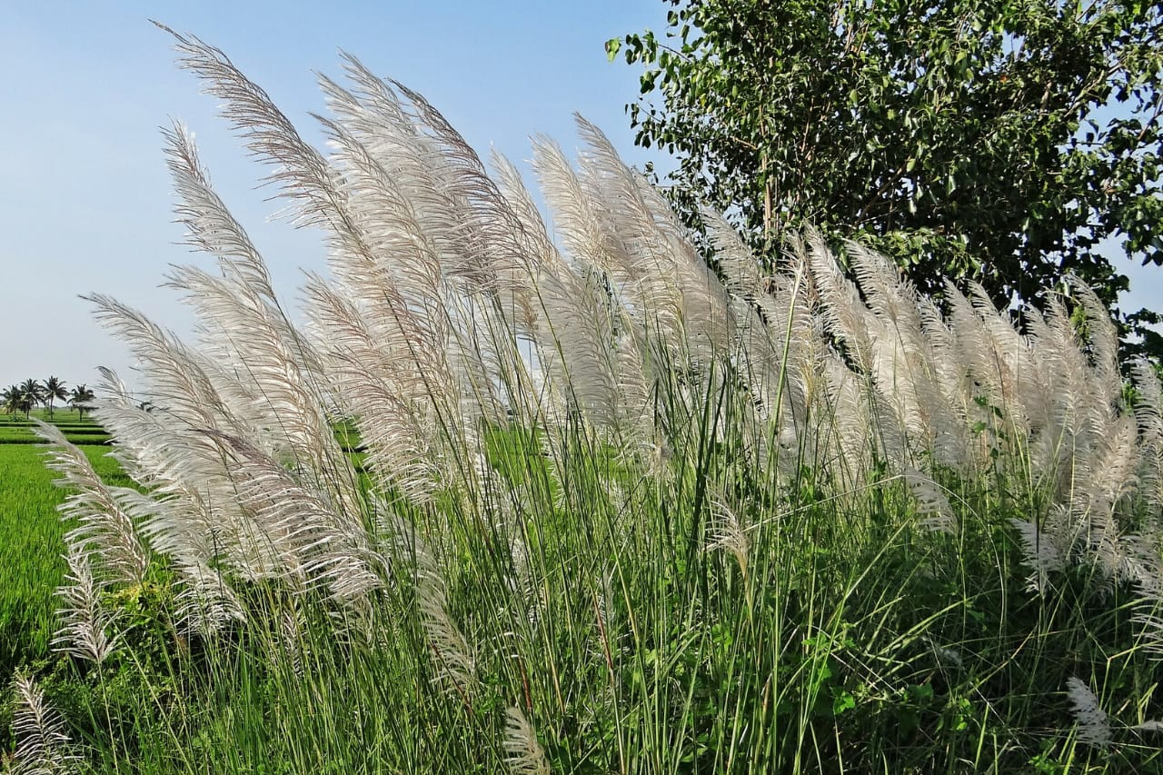 Soft grass waves in breeze on a sunny day