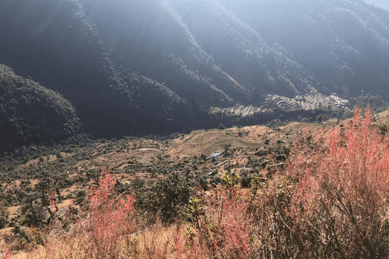 Mountain shrubs gleam pink in the Himalayan sun.